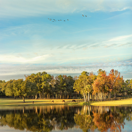 flying geese: Grazing horses in a pasture field paddock during autumn fall afternoon morning with lake pond water reflection in foreground and Canadian geese flying in the sky overhead Stock Photo