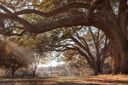 columpio: Vacie el oscilaci�n de madera r�stica colgando por la cuerda en gran rama de un �rbol de roble vivo en el campo en una granja o rancho mirando sereno calma tranquilo y relajante hermosa sur