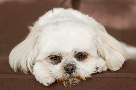 shih tzu: Pure white shih tzu dog on couch looking sad bored lonely sick depressed unwanted unloved ashamed