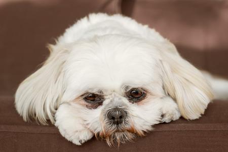 ungeliebt: Reines Wei� Shih Tzu Hund auf der Couch, die traurig schaut gelangweilt einsamen Kranken gedr�ckt unerw�nschte ungeliebten sch�men