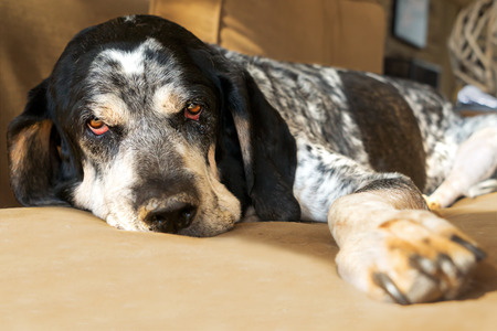 Closeup of a bluetick coonhound hunting dog relaxing on a couch looking sad tired worn out retired exhausted old aged comfortable