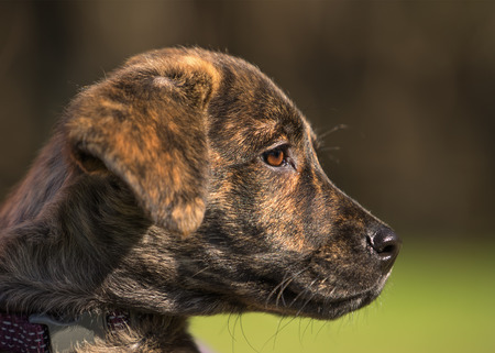 brindle: Small young brindle labrador mix breed puppy dog with bright brown eye looking watching observing outside in the sunlight