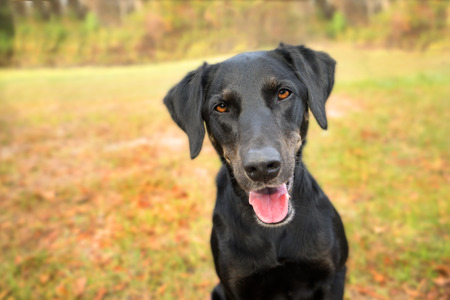 Black labrador retreiver greyhound mix dog sitting outside looking curious watching waiting alert whilte happy panting and staring at camera