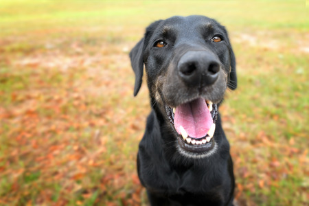Black labrador retreiver greyhound mix dog sitting outside  watching waiting alert looking happy excited while panting smiling and staring at camera