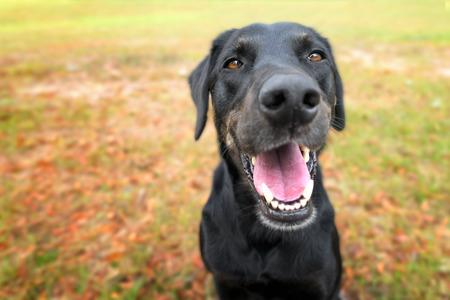 Schwarzer Labrador Retreiver Windhund-Mix Hund sitzt draußen beobachten Warte Ausschreibung suchen glücklich aufgeregt, während keuchend lächelnd und starrt auf Kamera Lizenzfreie Bilder