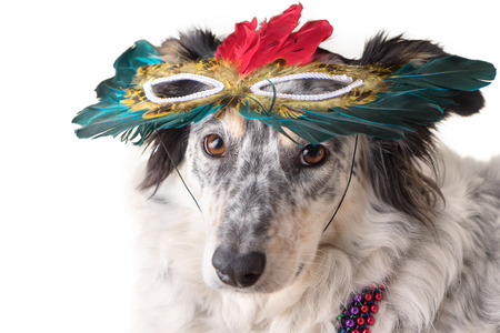 Isolated Border Collie  Australian shepherd mix dog wearing mradi gras feather mask masquerade costume and bead necklace in observance celebration of carnival mardi gras looking at camera and ready to party have fun celebrate photo