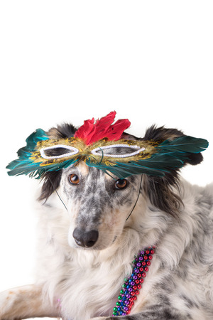 Isolated Border Collie  Australian shepherd mix dog wearing mradi gras feather mask masquerade costume and bead necklace in observance celebration of carnival mardi gras looking at camera and ready to party have fun celebrate