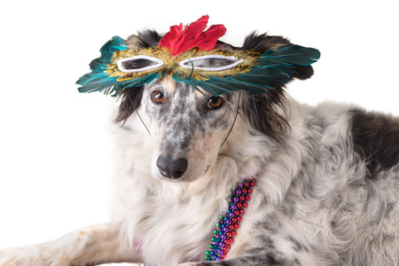masquerade mask: Isolated Border Collie  Australian shepherd mix dog wearing mradi gras feather mask masquerade costume and bead necklace in observance celebration of carnival mardi gras looking at camera and ready to party have fun celebrate