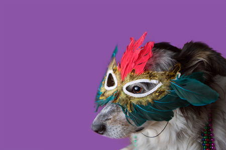 Border Collie  Australian shepherd mix dog wearing mradi gras feather mask masquerade costume and bead necklace in observance celebration of carnival mardi gras looking at camera and ready to party have fun celebrate photo