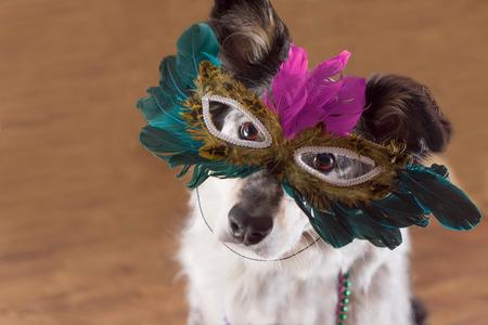Border Collie  Australian Shepherd Mix Hund trägt mradi gras Federmaske Maskerade Kostüm und Perlenkette unter Beachtung Feier der Karneval Mardi Gras, die Kamera und bereit für die Party Spaß feiern