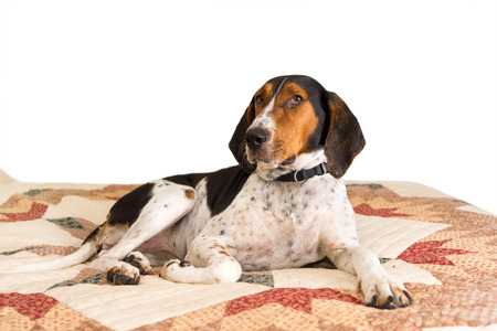 Treeing Walker Coonhound hound dog lying down on human bed with quilt looking tired lazy mischievous worn out exhausted comfortable relaxed stress-free pampered cozy melancholy lethargic sick unwell at home