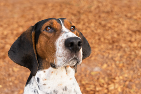 tri  color: Treeing Walker Coonhound hound dog looking expectantly begging waiting watching staring sitting obediently with ears forward