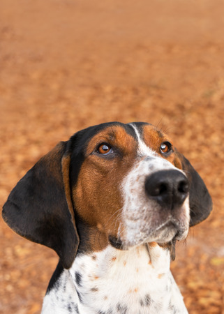 begging: Treeing Walker Coonhound hound dog looking expectantly begging waiting watching staring sitting obediently with ears forward