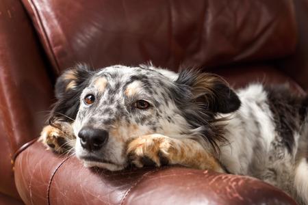 perezoso: Border collie  perro de pastor australiano en el sofá de cuero sillón mirando triste enfermo solitario aburrido deprimido melancolía soñoliento agotado agotado suplicante recuperación Foto de archivo