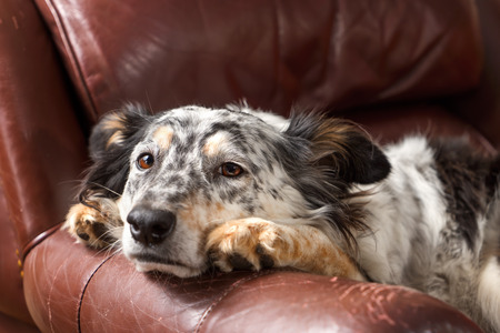 lazy: Border collie Australian shepherd dog on leather couch armchair looking sad bored lonely sick depressed melancholy sleepy tired worn out exhausted in recovery pleading
