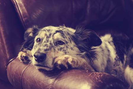 m�lancolie: Border collie  Berger australien chien sur fauteuil canap� en cuir air triste malade solitaire ennuyer d�prim� m�lancolique endormi fatigu� �puis� �puis� dans la r�cup�ration plaidant avec filtre retro vintage Banque d'images