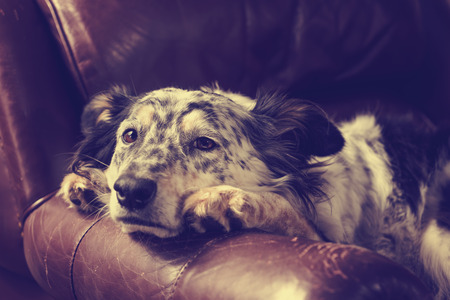Border collie/ Australian shepherd dog on leather couch armchair looking sad bored lonely sick depressed melancholy sleepy tired worn out exhausted in recovery pleading with retro vintage filter Standard-Bild