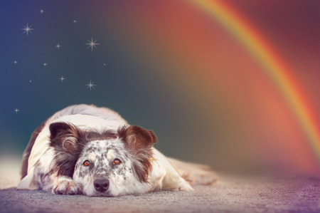 Border collie australian shepherd mix dog lying down under stars and rainbow with ears half alert wearing white scarf looking alert curious adventurous watching waiting listening expectant hopeful bright eyed excited wishful hopeful magical surreal serene Stockfoto