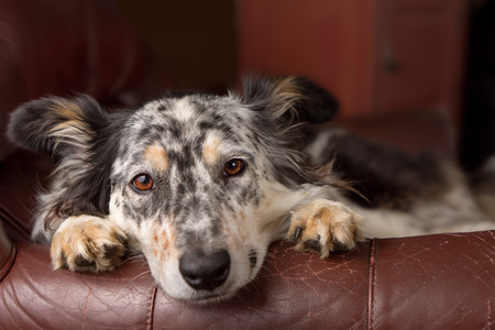 Border collie/ Australian shepherd dog on leather couch armchair looking sad bored lonely sick depressed melancholy sleepy tired worn out exhausted in recovery pleading Standard-Bild