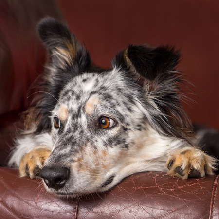 cynical: Border collie Australian shepherd dog on brown leather couch armchair looking happy comfortable lounging on furniture waiting watching curious cute uncertain with paws next to face