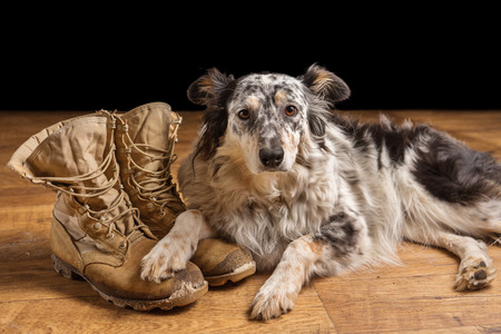 Border collie Australian shepherd mix dog lying down on tan veteran service military combat boots looking sad grief stricken in mourning depressed abandoned alone emotional bereaved worried feeling heartbreak