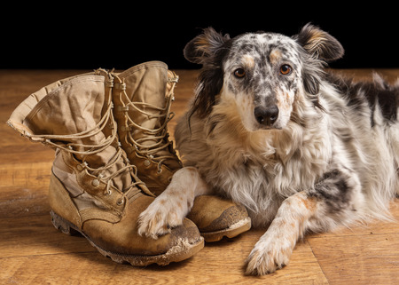 Border collie Australian shepherd mix dog lying down on tan veteran service military combat boots looking sad grief stricken in mourning depressed abandoned alone emotional bereaved worried feeling heartbreak Standard-Bild