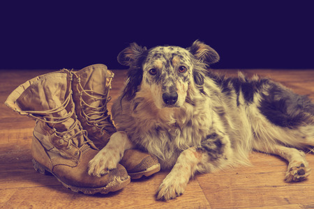 Border collie Australian shepherd mix dog lying down on tan veteran service military combat boots looking sad grief stricken in mourning depressed abandoned alone emotional bereaved worried feeling heartbreak Banco de Imagens