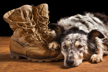 Border collie Australian shepherd mix dog lying down on tan veteran service military combat boots looking sad grief stricken in mourning depressed abandoned alone emotional bereaved worried feeling heartbreak Stock Photo