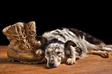 servicio domestico: Border collie Pastor australiano perro de la mezcla que se acuesta en las botas de combate militares de servicios veterano bronceado que parecen tristes desconsolada de luto deprimido abandonado solo en duelo emocional preocupado sintiendo angustia