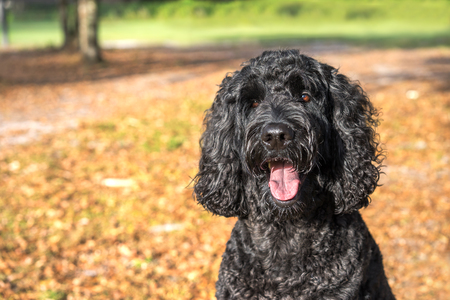 panting: Black labradoodle labrador poodle dog pet sitting outside watching waiting alert looking hot happy excited white panting smiling and staring at camera