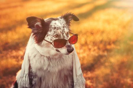 stylish: Border collie australian shepherd mix dog wearing sunglasses on tip of nose and scarf at sunset sunrise looking cool adorable doubtful fashionable stylish calm chic