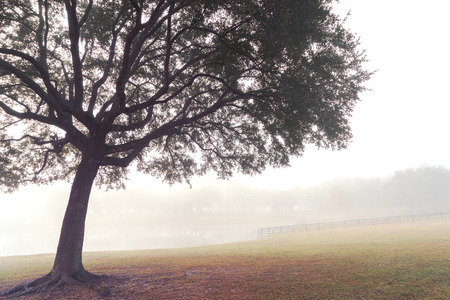 foggy: Lone tree in a field meadow pasture paddock farm ranch on a foggy morning