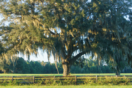 Live Oak tree with Spanish moss in pasture field meadow behind four board country farm ranch overgrown wood fence looking serene peaceful relaxing beautiful southern tranquil