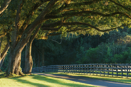 transcendence: Live oak trees with four board farm fence in the rural countryside farm or ranch by a road looking serene peaceful calm relaxing beautiful southern tranquil
