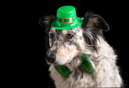 saints: Border collie Australian shepherd dog canine pet wearing green Irish leprachaun saint patrick day hat costume with green bow while looking at camera in a mischievous guilty prankster way isolated on black background