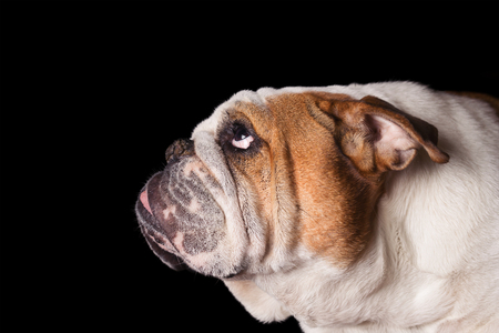 English Bulldog dog canine pet isolated on black background looking up and hopeful curious waiting watching patiently Standard-Bild