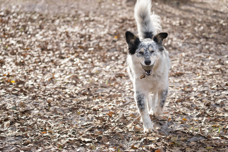 fetch: Border Collie Australian Shepherd mix dog canine pet outside playing fetch with tennis ball looking happy excited healthy