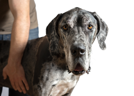 light brown eyes: Great Dane grey harlequin merle giant dog with light brown eyes in isolated front of white background looking alert adorable curious watching thinking paying attention with loose lip
