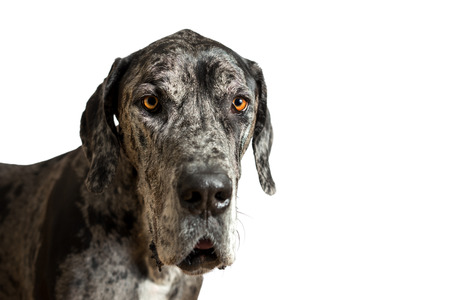 great dane harlequin: Great Dane grey harlequin merle giant dog with light brown eyes in isolated front of white background looking alert adorable curious watching thinking paying attention with loose lip