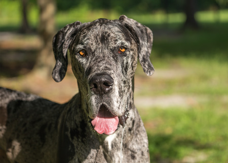 slobber: Great Dane grey harlequin merle giant dog canine pet with light brown eyes outside panting looking alert adorable happy curious watching thinking paying attention with loose lip and drool