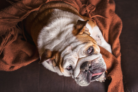 bored face: English Bulldog dog canine pet on brown leather couch under blanket looking sad bored lonely sick tired exhausted