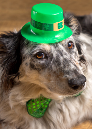 Border collie Australian shepherd dog canine pet wearing green Irish leprachaun saint patrick day hat costume while lying on wooden floor looking at camera in a mischievous guilty prankster way Stock Photo