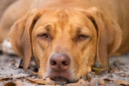rhodesian: Rhodesian Ridgeback purebred domestic pet dog canine staring watching waiting looking focusing guarding with a serious thoughtful intelligent expression