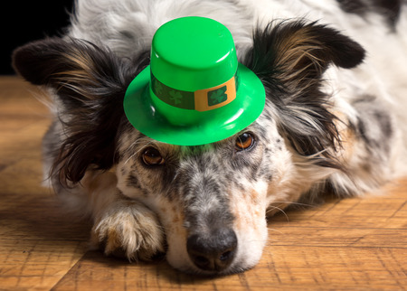 prankster: Border collie Australian shepherd dog canine pet wearing green Irish leprachaun saint patrick day hat costume while lying on wooden floor looking at camera in a mischievous guilty prankster way Stock Photo