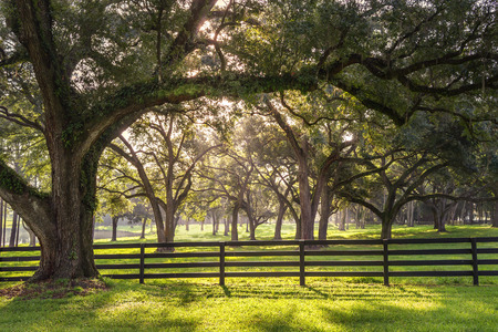 transcendence: Large oak tree branch with farm fence in the rural countryside looking serene peaceful calm relaxing beautiful southern tranquil magical
