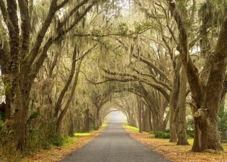 Lignes de vieux chênes en direct avec de la mousse espagnole qui pend sur une route de campagne pittoresque sud