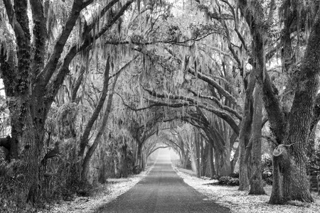 Lines of old live oak trees with spanish moss hanging down on a scenic southern country road in black and white or monochromatic