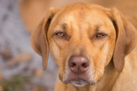 Rhodesian Ridgeback purebred domestic pet dog canine staring watching waiting looking focusing guarding with a serious thoughtful intelligent expression