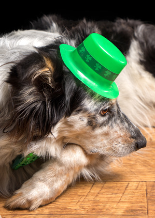 Border collie Australian shepherd dog canine pet wearing green Irish leprachaun saint patrick day hat costume while lying on wooden floor looking at camera in a mischievous guilty prankster way Imagens