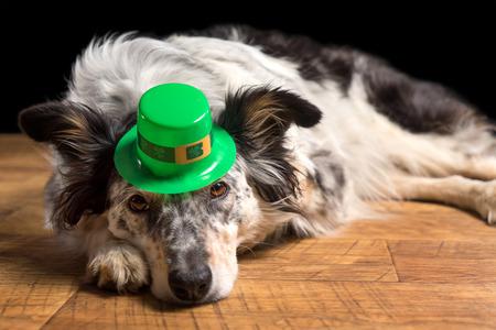 prankster: Border collie Australian shepherd dog canine pet wearing green Irish leprachaun saint patrick day hat costume while lying on wooden floor looking at camera in a mischievous guilty prankster way Stock Photo